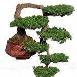 Комнатное растение — бонсай