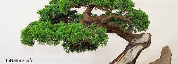 Комнатное растение - бонсай