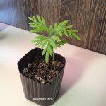Гревиллея из семян