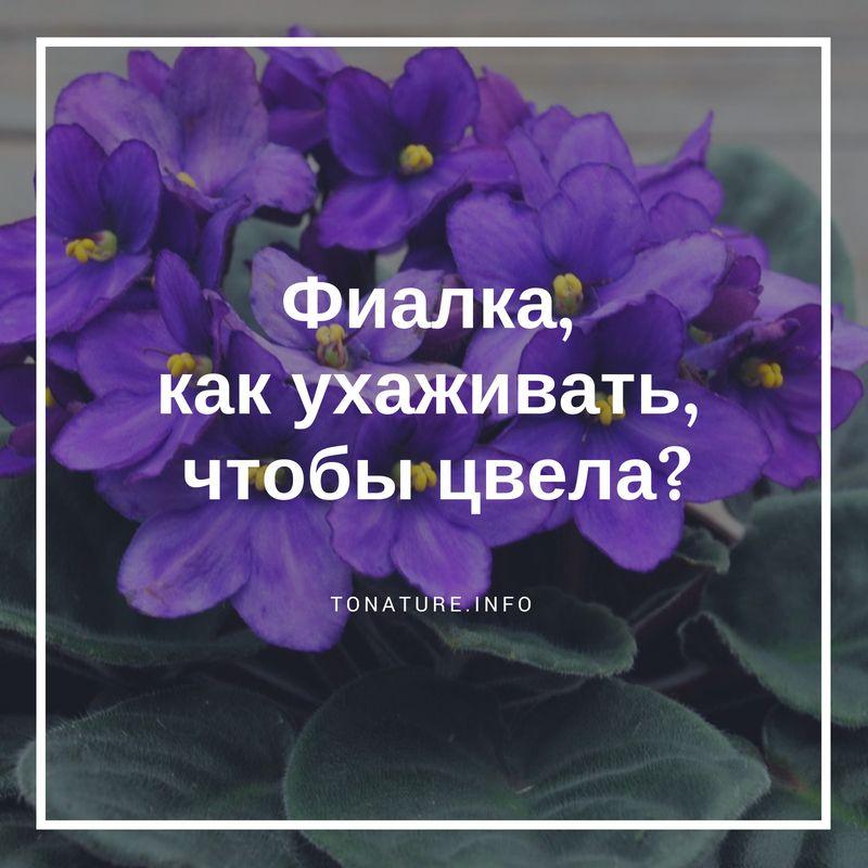 Что делать с фиалками после цветения