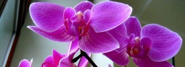1Орхидея-Orchidaceae