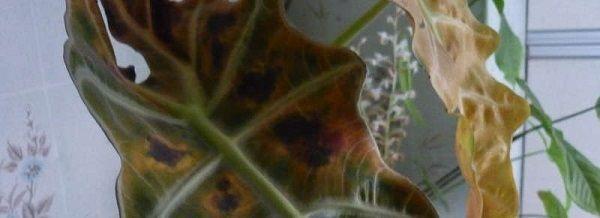 алоказия пятна на листьях