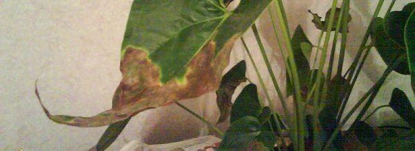 антуриум темнеют листья