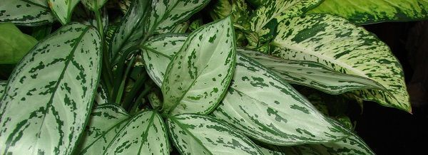 Aglaonema-izmenchivaya1