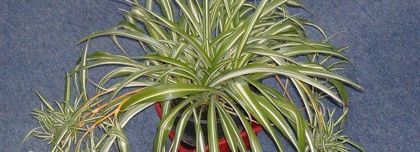 Chlorophitum_Spider_Plant