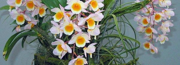 Dendrobium-farmerii-2