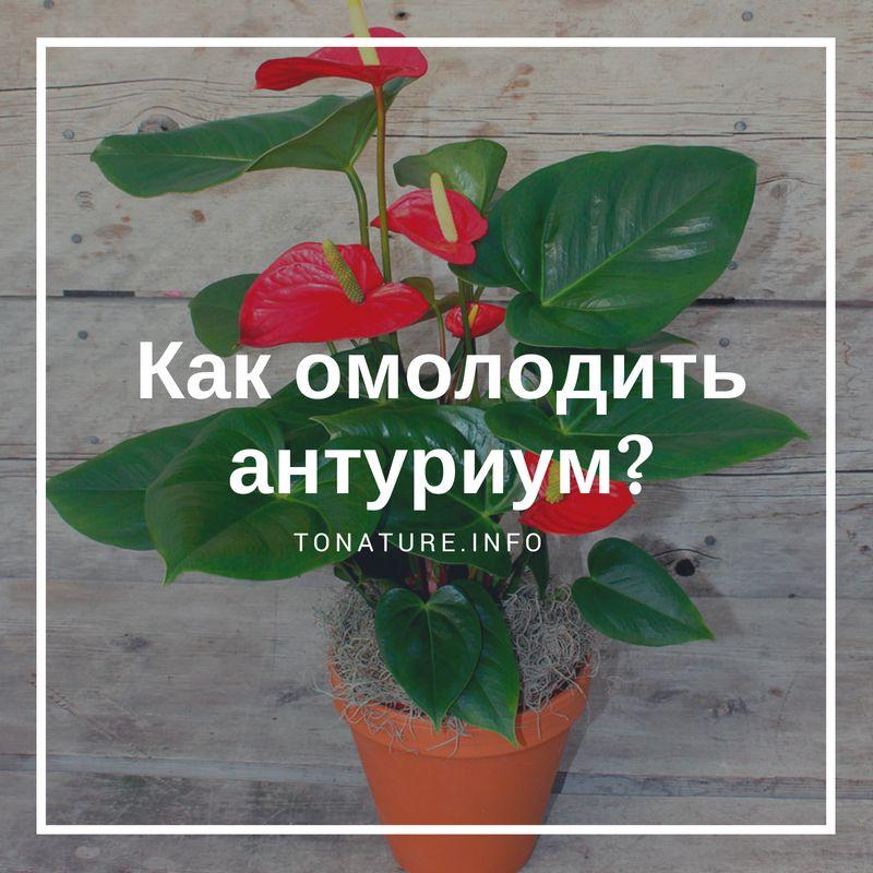 Как обновить антуриум — cvetokvgorshke