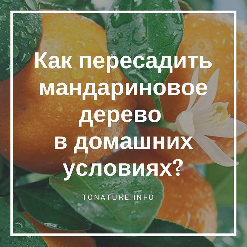 как пересадить мандариновое дерево