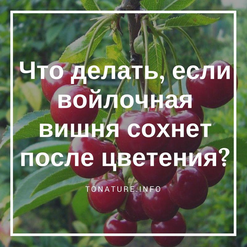 Что делать, если войлочная вишня сохнет после цветения?