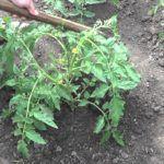 okuchivat-pomidoryi-v-otkryitom-grunte