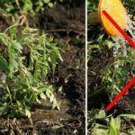 podkarmlivat-pomidoryi-v-otkryitom-grunte