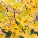 u-vinograda-zhelteyut-listya