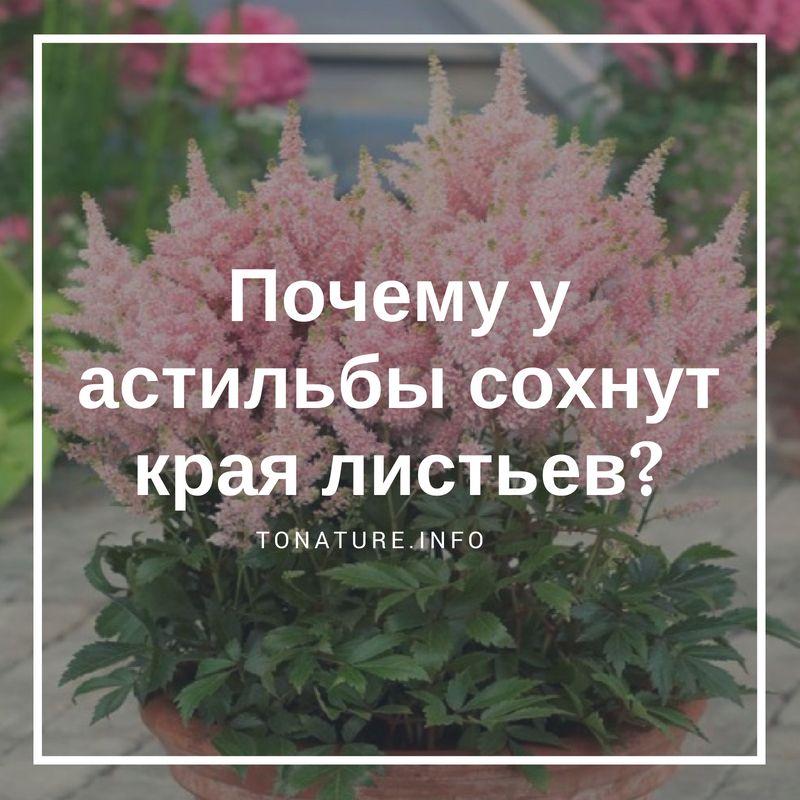Сохнут и скручиваются листья астильбы что делать если в саду засыхают края листьев астильбы Причины и лечение