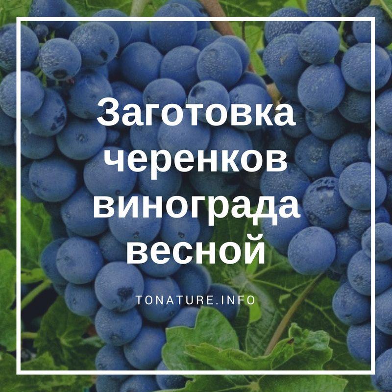 Заготовка и хранение черенков винограда осенью: когда и в чем замачивать чубуки, способы и сроки