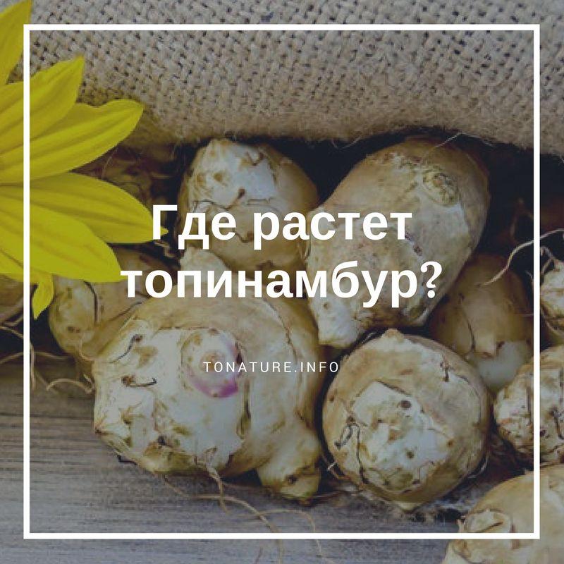 Где растет топинамбур в россии