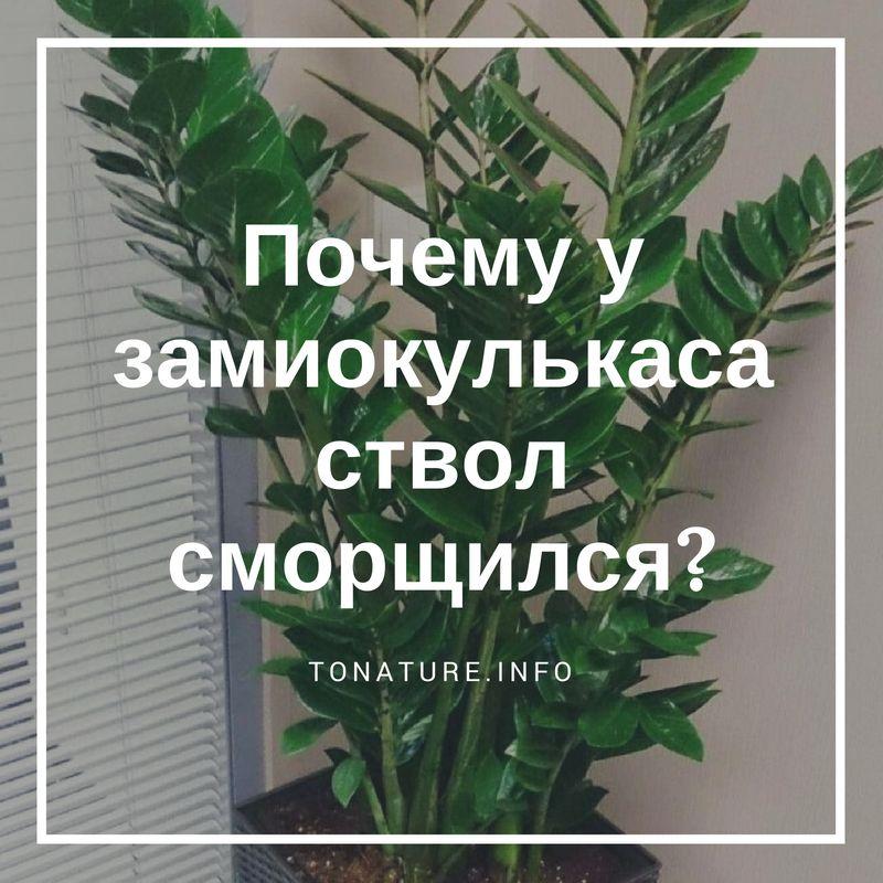 Pochemu-u-zamiokulkasa-stvol-smorshhilsya.jpg.pagespeed.ce.W1R4KfJAs7.jpg