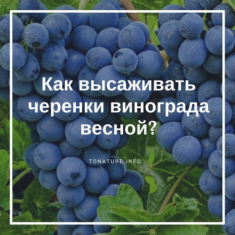 Что делать весной с черенками винограда