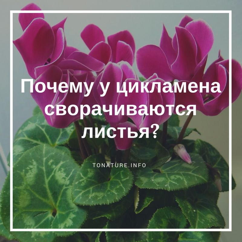 Почему скручиваются листья у цикламена — Цветок домашний