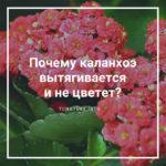 Почему каланхоэ вытягивается и не цветет?