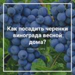 Как посадить черенки винограда весной дома?