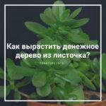 Как вырастить денежное дерево из листочка?