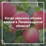 Когда обрезать яблони весной в Ленинградской области?