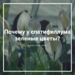 Почему у спатифиллума зеленые цветы?
