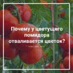 Почему у цветущего помидора отваливается цветок?