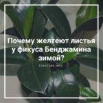 Почему желтеют листья у фикуса Бенджамина зимой?