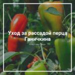 Уход за рассадой перца Ганичкина