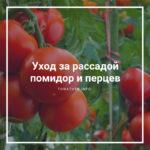 Уход за рассадой помидор и перцев