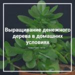 Выращивание денежного дерева в домашних условиях